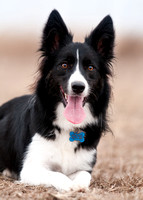 Dog11-Border Collie