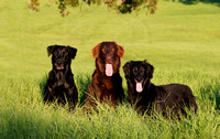 Dog 24 - Flat Coated Retriever